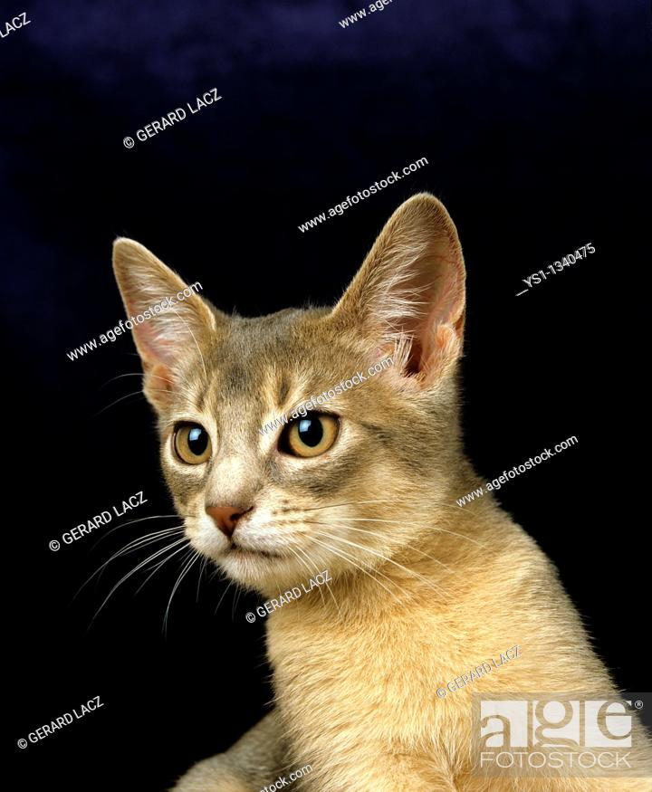 Stock Photo: BLUE ABYSSINIAN DOMESTIC CAT, PORTRAIT OF KITTEN.