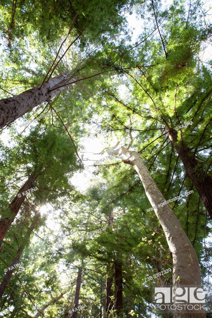 stock photo redwood forest in the santa barbara botanic garden santa barbara santa barbara county california ca usa - Santa Barbara Botanic Garden