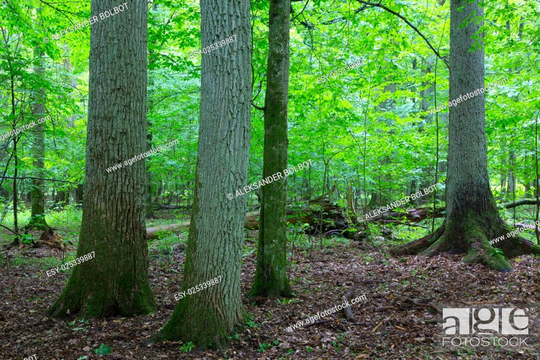 Stock Photo: Primeval deciduous stand of natural forest in summertime with huge oak trees in foreground, Bialowieza Forest, Poland, Europe.