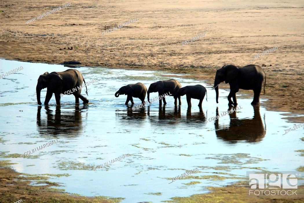 Stock Photo: Elephants (Loxodonta africana) family herd crossing Letaba river, Kruger National Park, Transvaal, South Africa.