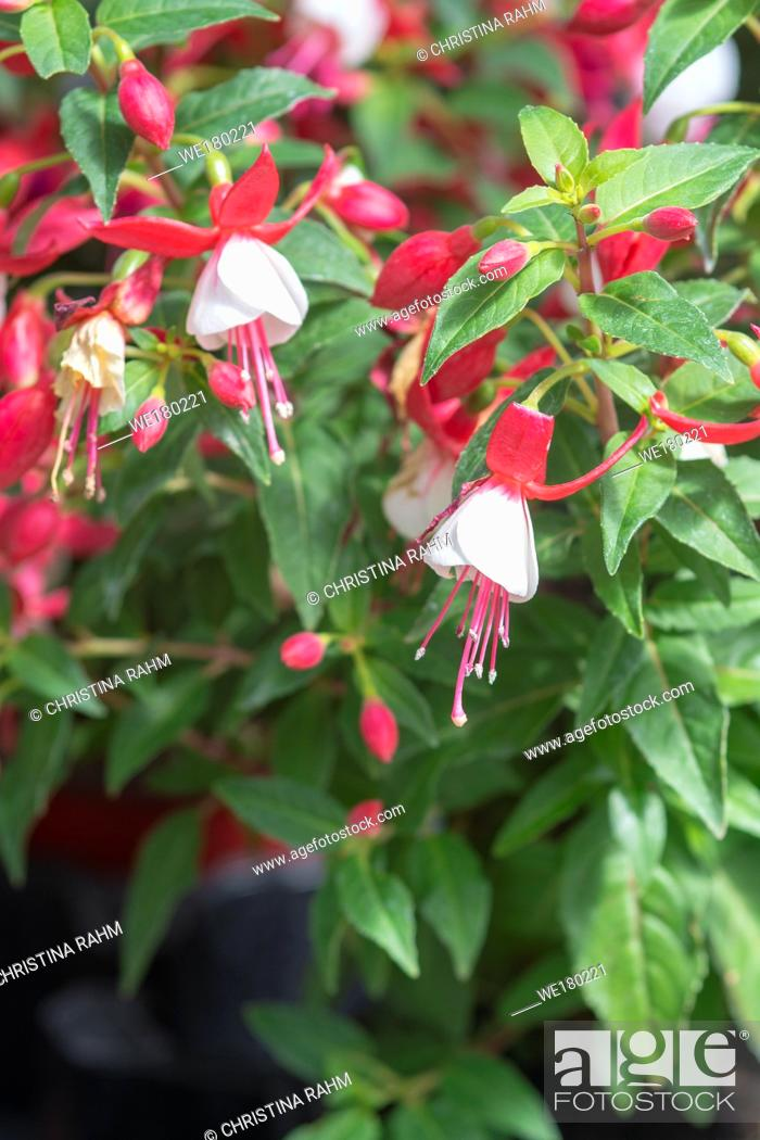 Stock Photo: Fuchsia flowers red and white. Spring garden series, Mallorca, Spain.