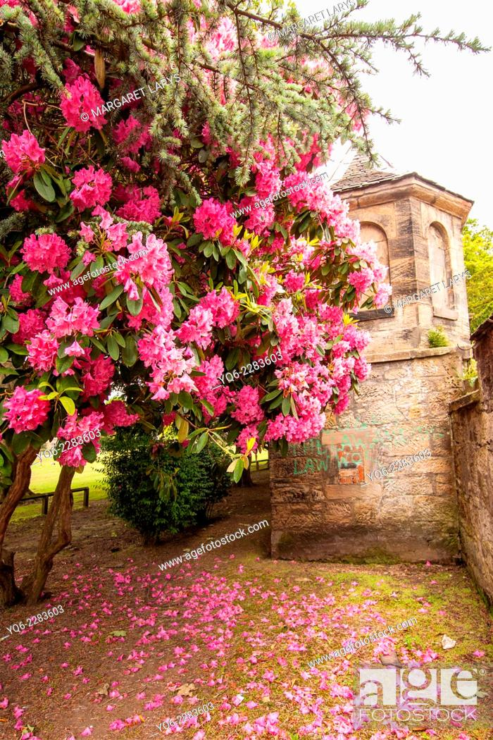 Stock Photo: Rhododendron and Azalea Bushes in Beautiful old Summer Garden in Falkirk, Scotland.