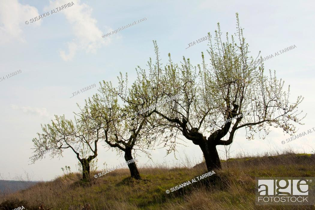 Stock Photo: Prunus dulcis.Old almond trees sprouting again in spring and keep the almonds from the previous season.Photo taken in Pinós, Lleida, Catalonia, Spain, Europe.
