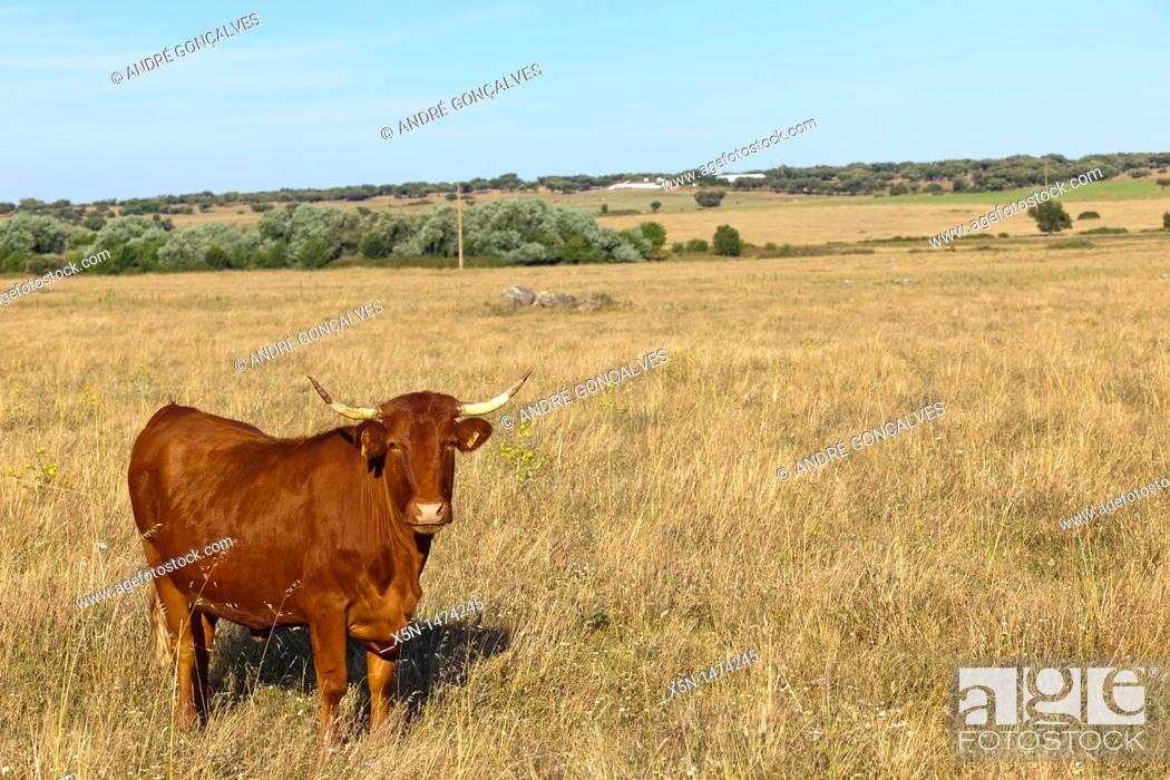 Imagen: Cow, Alentejo, Portugal, Europe.