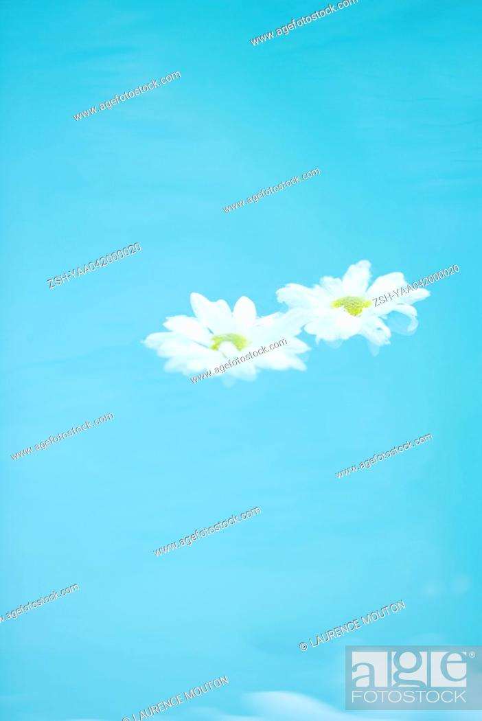 Stock Photo: Daisies floating on surface of water.