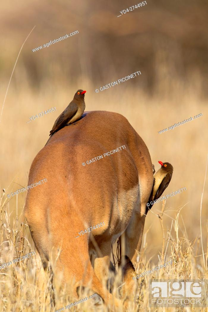 Imagen: Impala (aepyceros melampus melampus), and a Redbilled Oxpeckers (Buphagus erythrorhynchus), on Impala's back. Kruger National Park, South Africa.