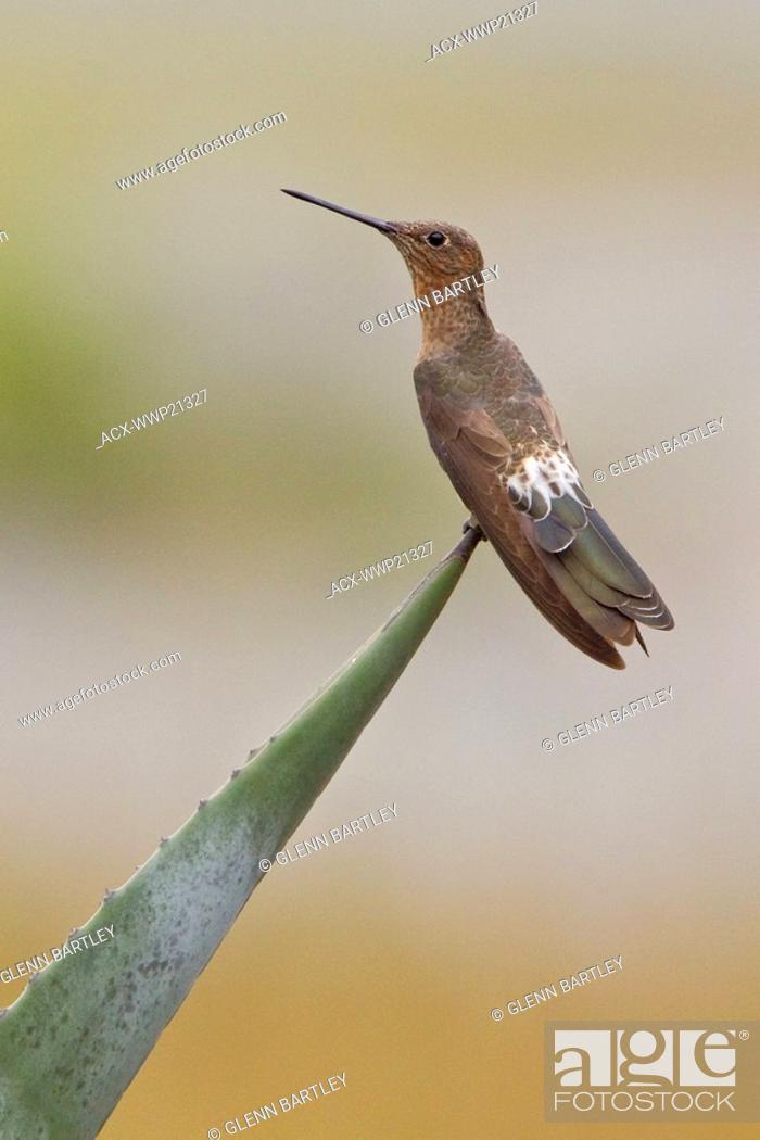 giant hummingbird patagona gigas perched on a flowering plant near