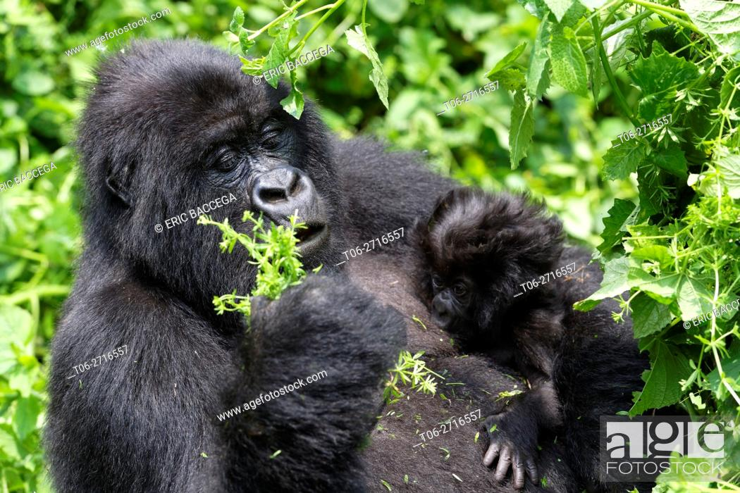 Stock Photo: Female Mountain gorilla feeding and nursing her one month old baby (Gorilla beringei beringei) Virunga National Park, Democratic Republic of Congo, Africa.