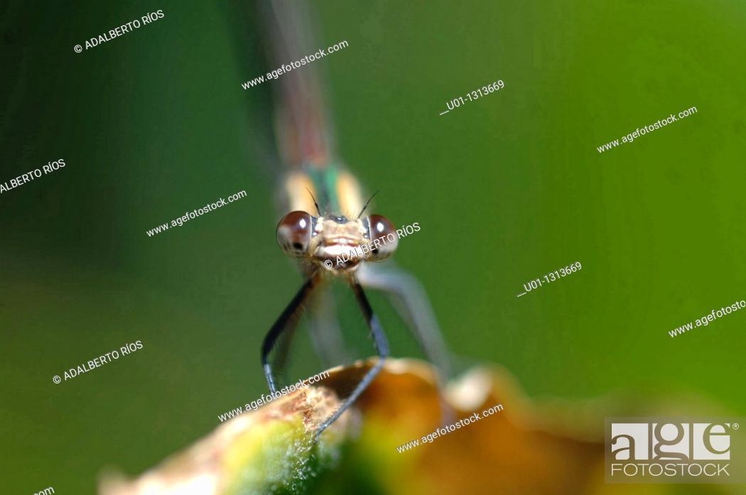 Stock Photo: Damselfly (Megaloprepus caerulatus) on a leaf, Mexico.