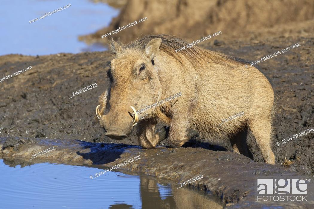 Stock Photo: Common warthog (Phacochoerus africanus), kneeling adult, drinking at a waterhole, alert, Addo Elephant National Park, Eastern Cape, South Africa, Africa.
