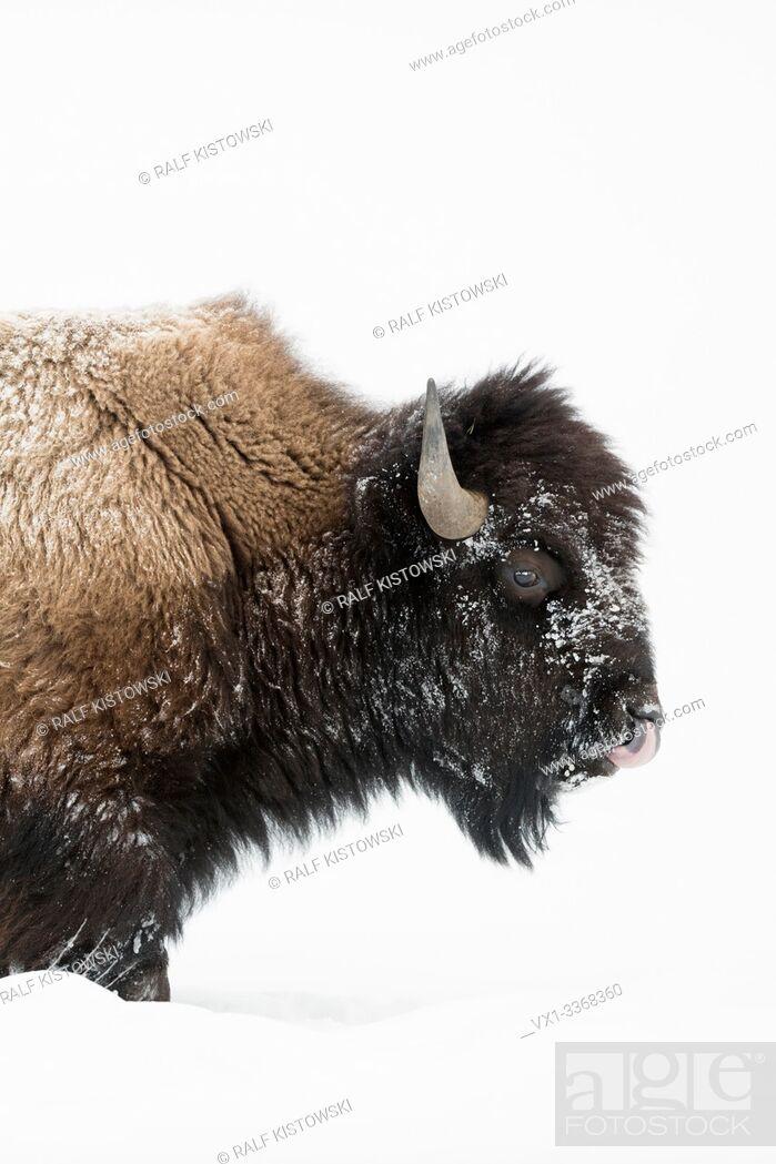 Stock Photo: American bison / Amerikanischer Bison ( Bison bison ) in winter, mature bull, walking through deep snow, licking its nose, Yellowstone National Park, Wyoming.