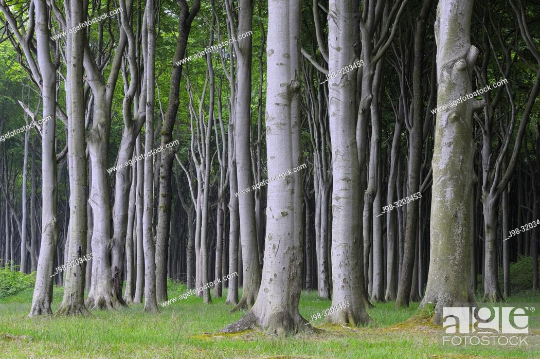Stock Photo: Beech tree (Fagus sylvatica) forest. Mecklenburg Vorpommern, Mecklenburg-Western Pomerania, Germany.