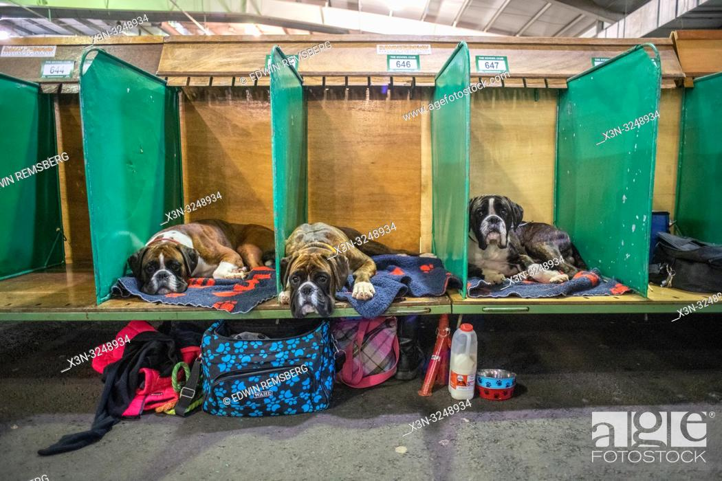 Imagen: Three Boxer dogs laying down in separate pens at dog show, Edinburgh, Scotland.