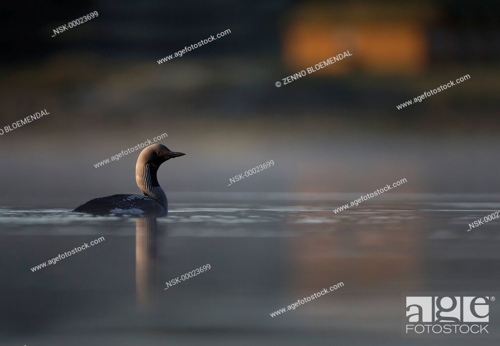 Imagen: Black-throated Diver (Gavia arctica) adult, swimming on lake habitat, with house on shore, Norway, Sor-Trondelag.