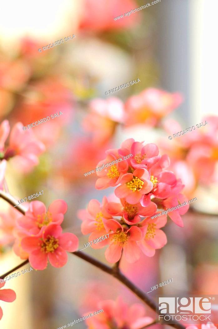 Stock Photo: Flower of Peach.