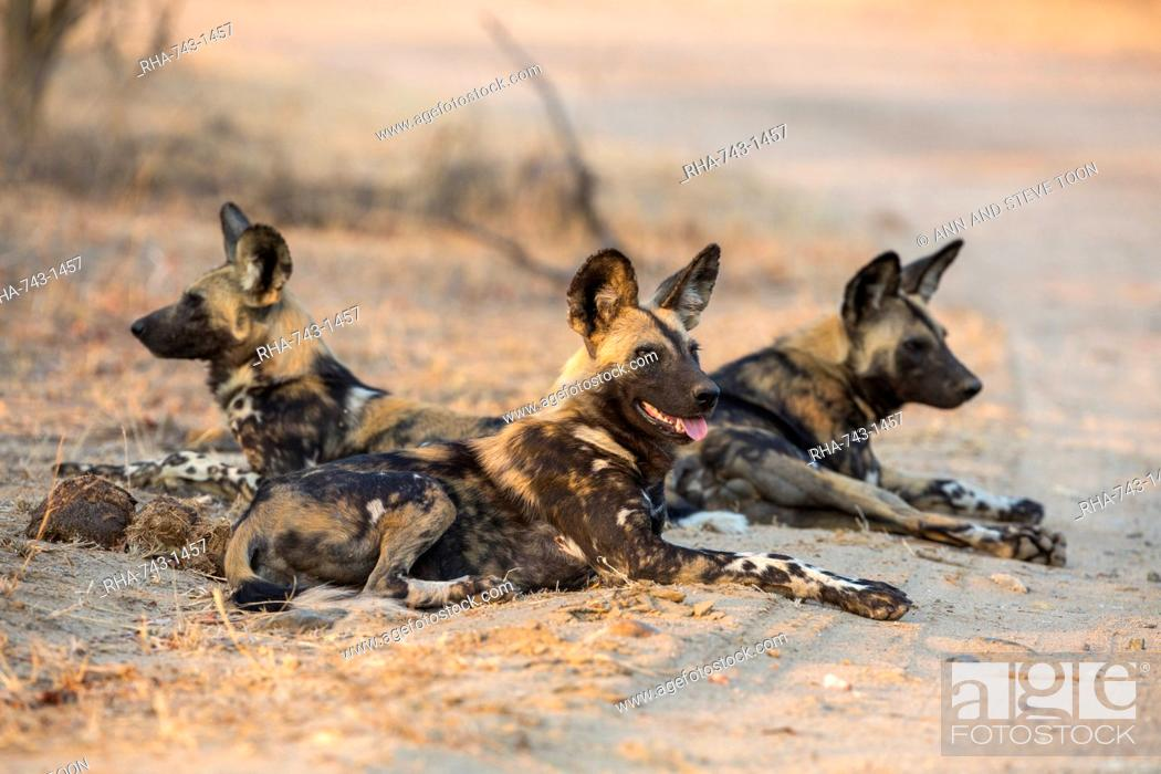 Stock Photo: African wild dog (Lycaon pictus) at rest, Kruger National Park, South Africa, Africa.