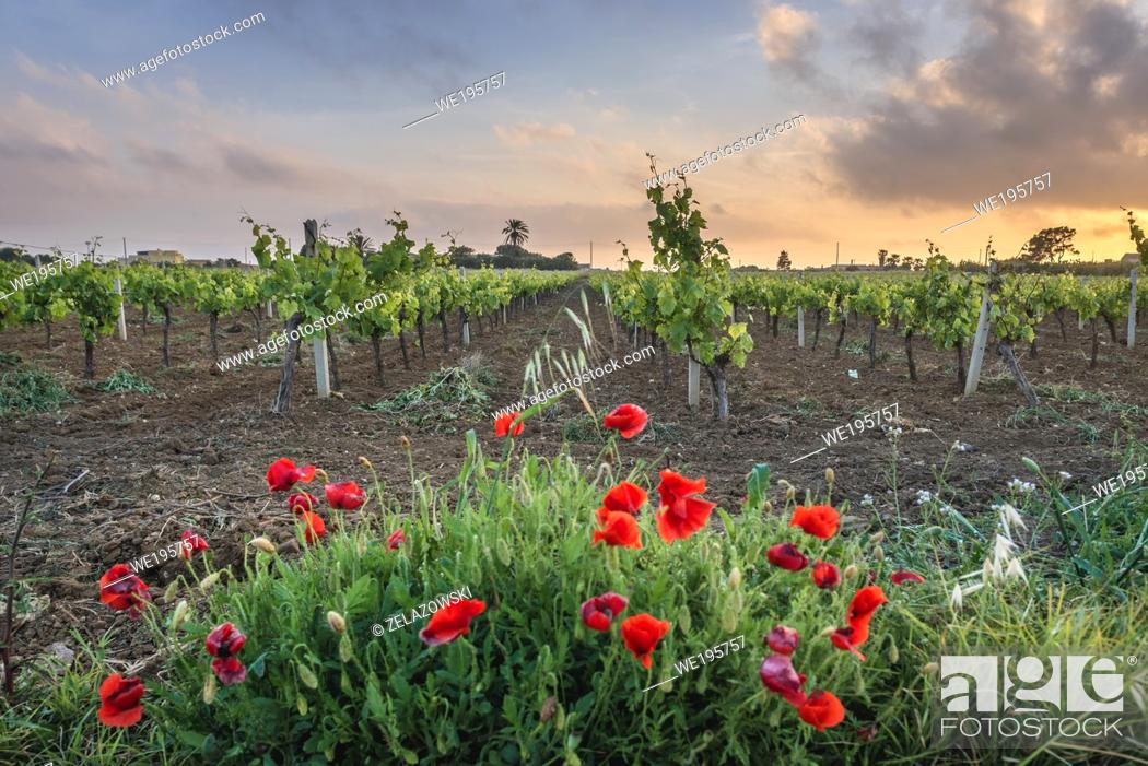 Stock Photo: Vine field near Nubia saltworks in Nubia hamlet in municipality of Paceco, province of Trapani, Sicily, Italy.
