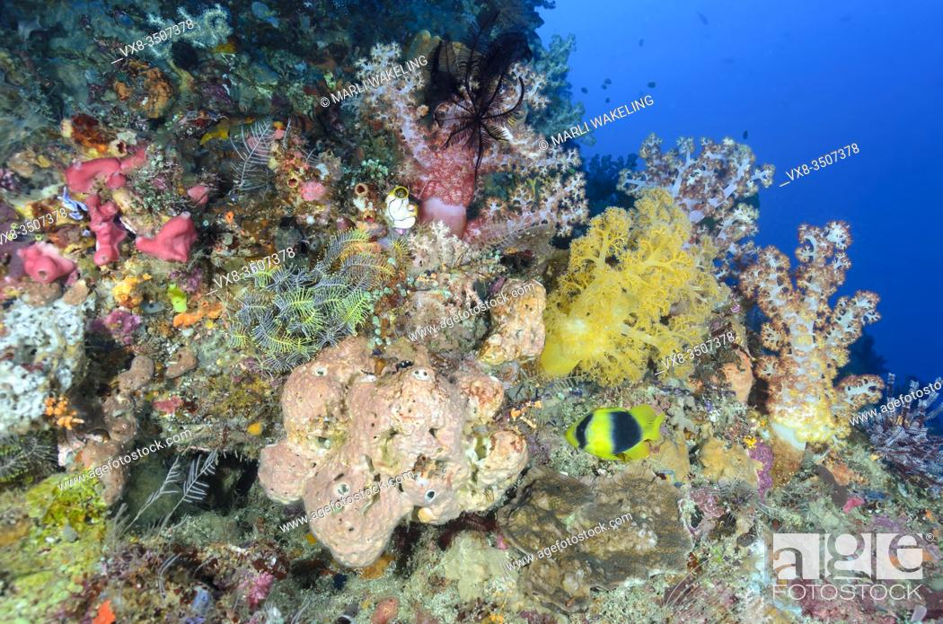 Stock Photo: Reef scene with tree corals and Doublebanded soapfish, Diploprion bifasciatum, North Lembeh Island, Lembeh Strait, North Sulawesi, Indonesia, Pacific.