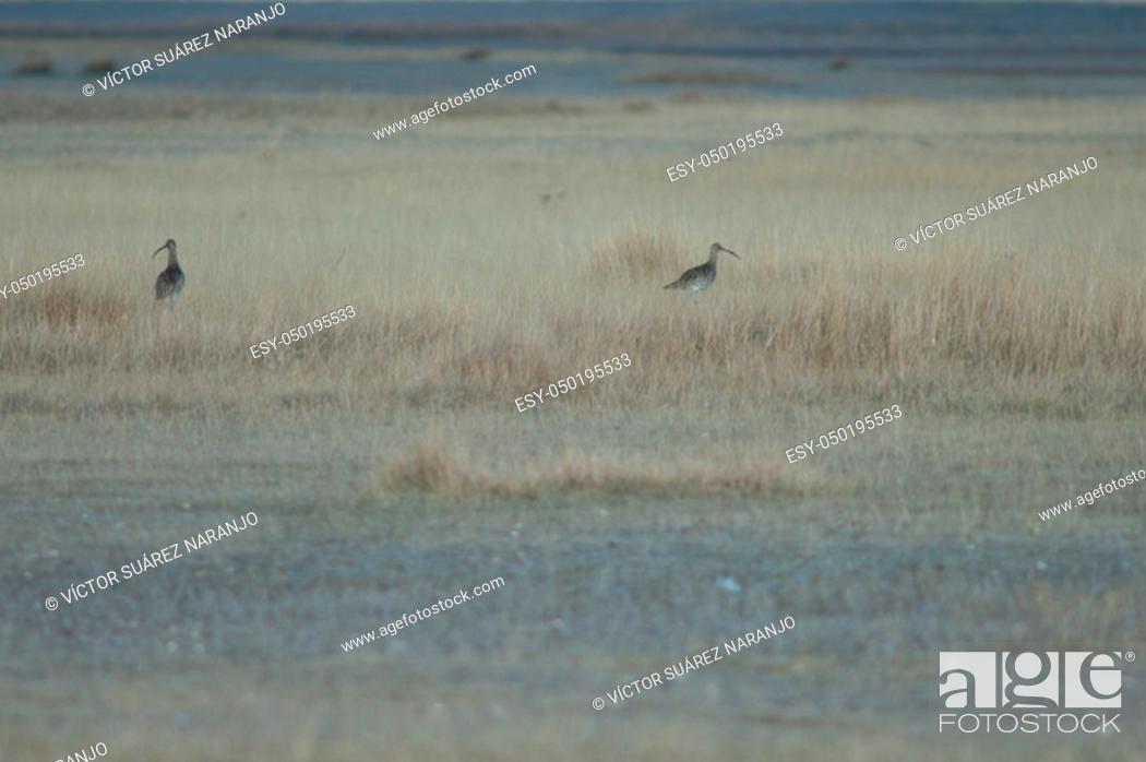 Stock Photo: Eurasian curlews (Numenius arquata). Gallocanta Lagoon Natural Reserve. Aragon. Spain.