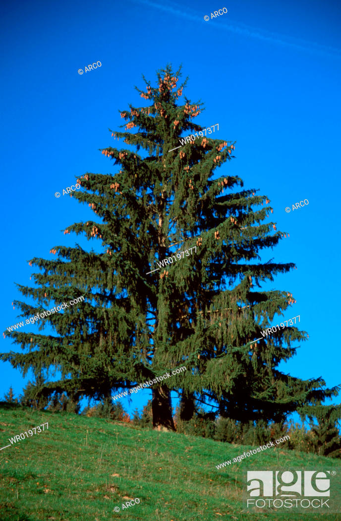 Stock Photo: Norway, Spruce,Picea, abies.