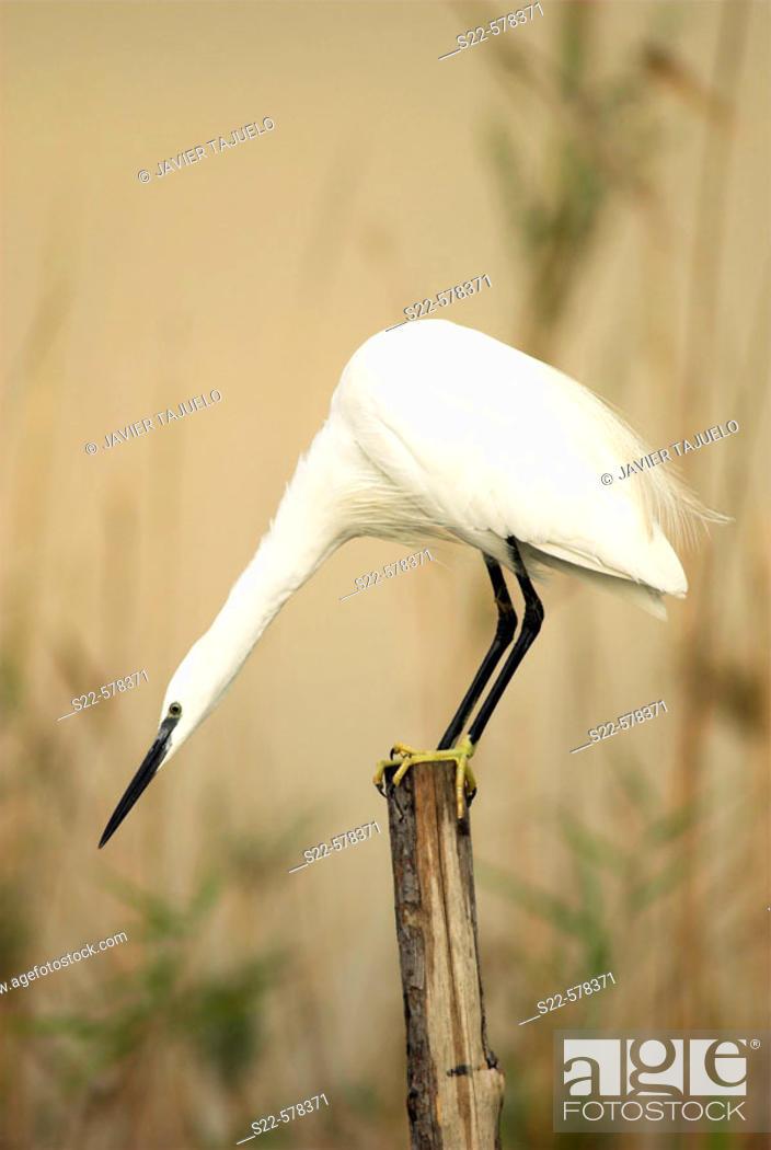 Stock Photo: Little Egret (Egretta garzetta). La Albufera National Park, Comunidad Valenciana, Spain.