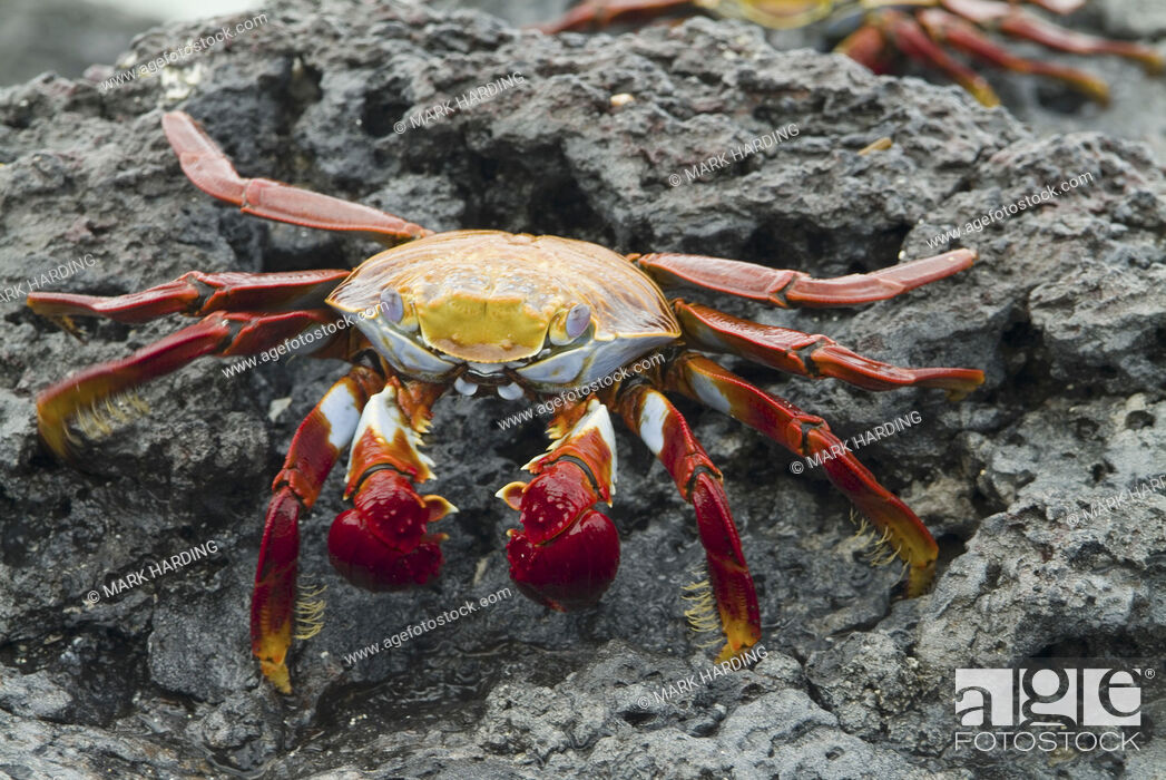Imagen: Sally lightfoot crab Grapsus grapsus Galapagos.