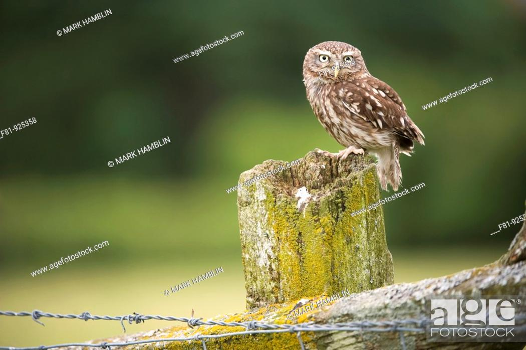 Stock Photo: Little Owl Athene noctua adult perched on post in farmland habitat captive-bred  Wales, July 2009.