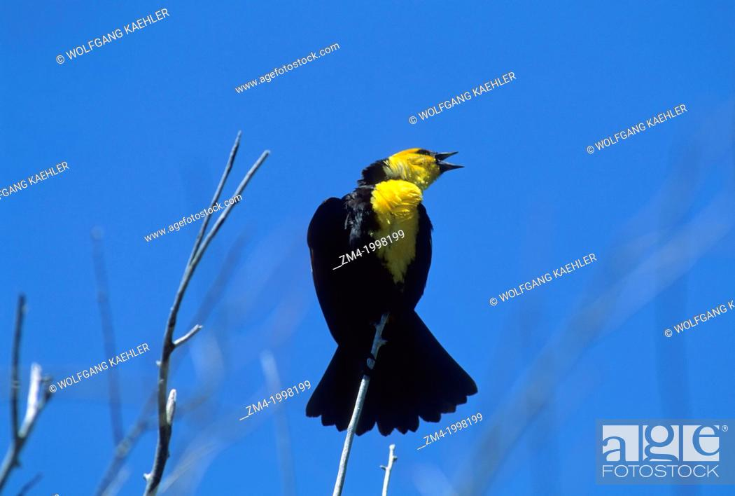 Stock Photo: USA, IDAHO, TARGHEE NATIONAL FOREST, YELLOW-HEADED BLACKBIRD.