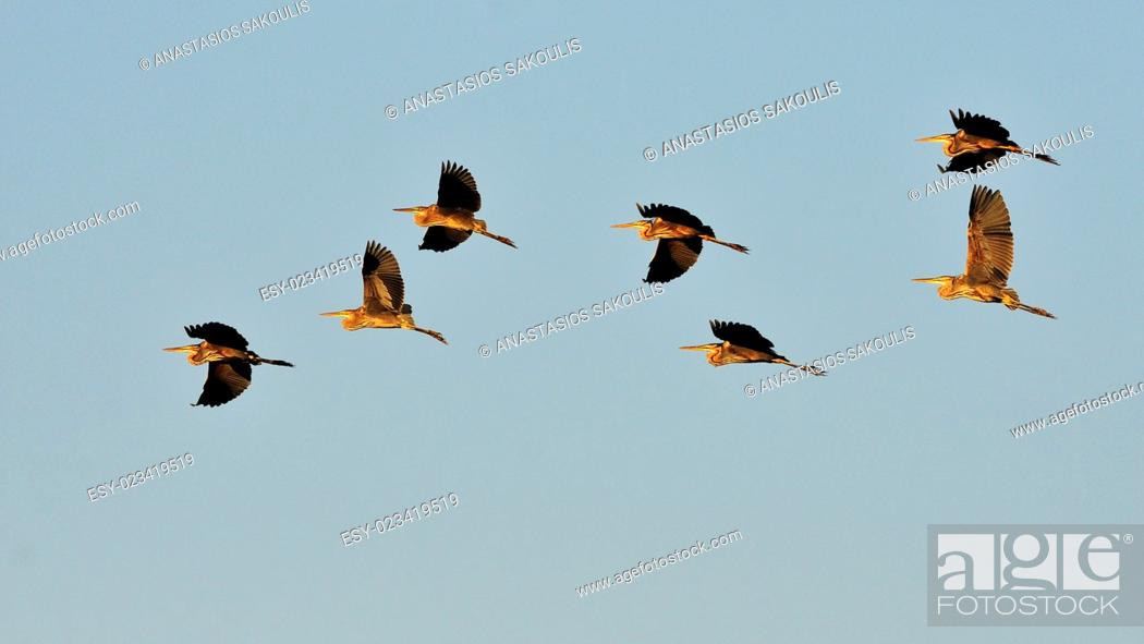 Stock Photo: Flock of Purple Herons - Ardea purpurea during migration, Crete.