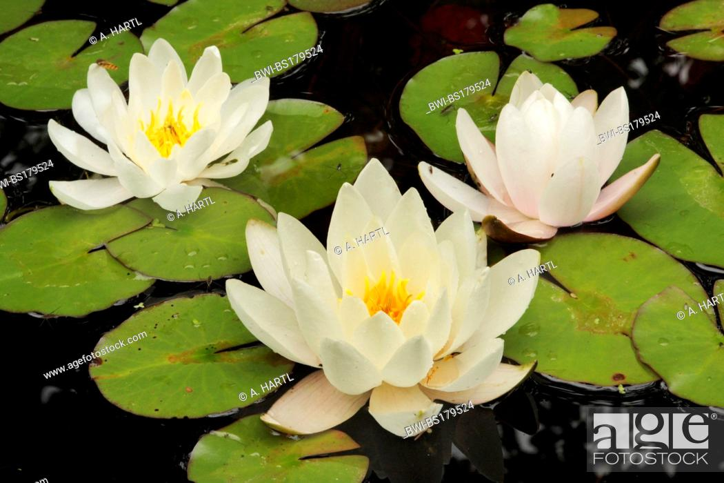 Stock Photo: white water-lily, white pond lily (Nymphaea alba), three flowers on floating leaves, Germany, Bavaria.