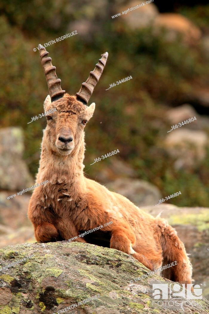 Imagen: Male ibex (Capra ibex) in the national park Gran Paradiso. Italy.