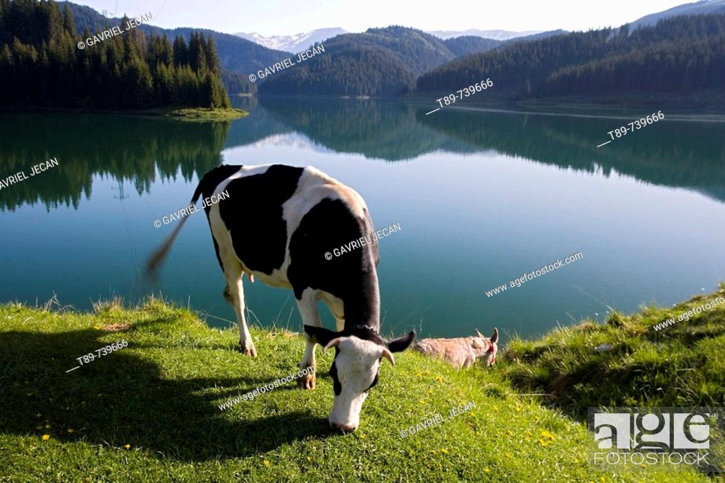 Stock Photo: Cow eating by the Lake.