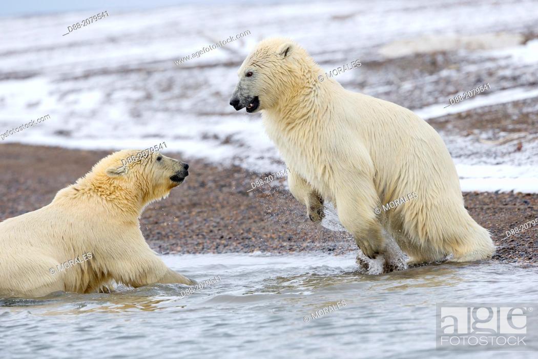 Stock Photo: United States , Alaska , Arctic National Wildlife Refuge , Kaktovik , Polar Bear( Ursus maritimus ) , swim in the sea , youngs playing.