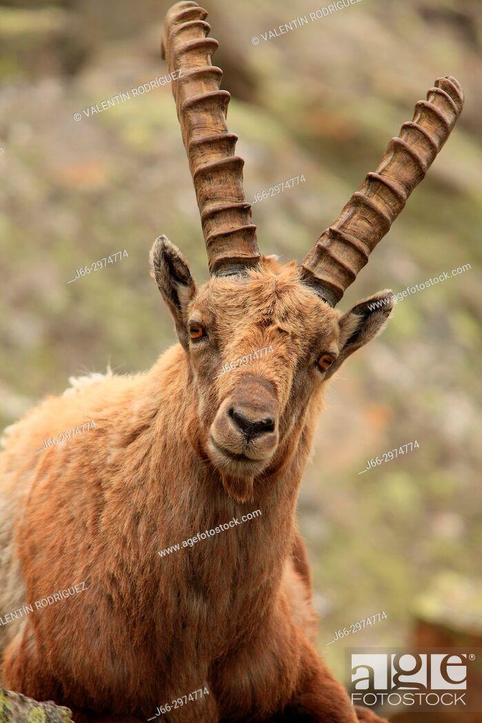 Imagen: Ibex (Capra ibex) in the Gran Paradiso national park. Italy.
