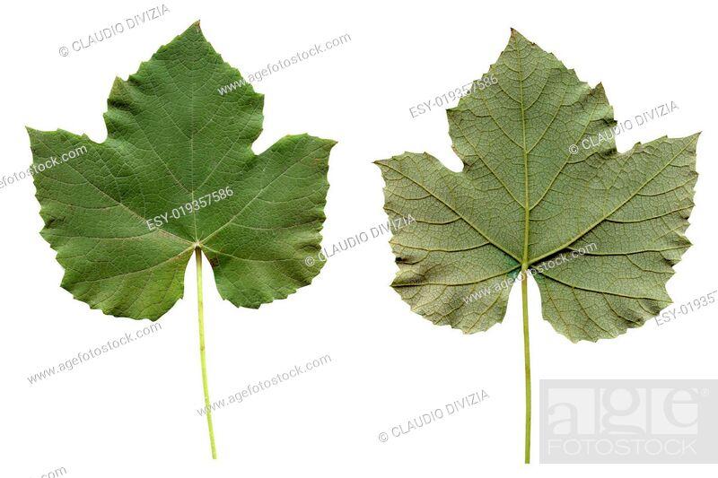 Stock Photo: Vitis leaf.