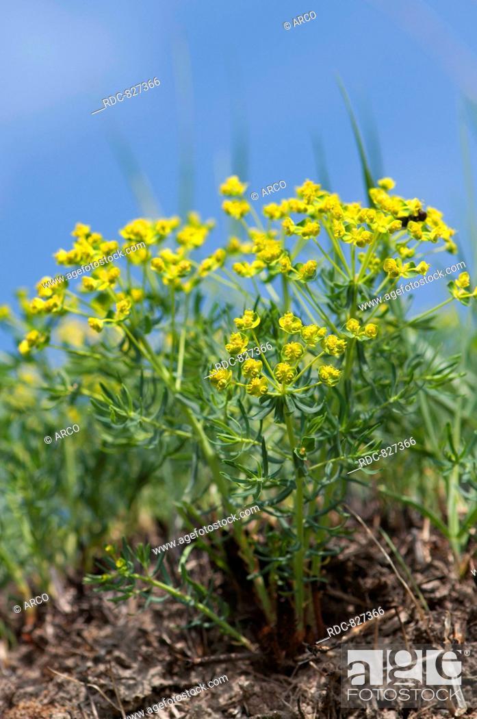 Stock Photo: Euphorbia cyparissias.