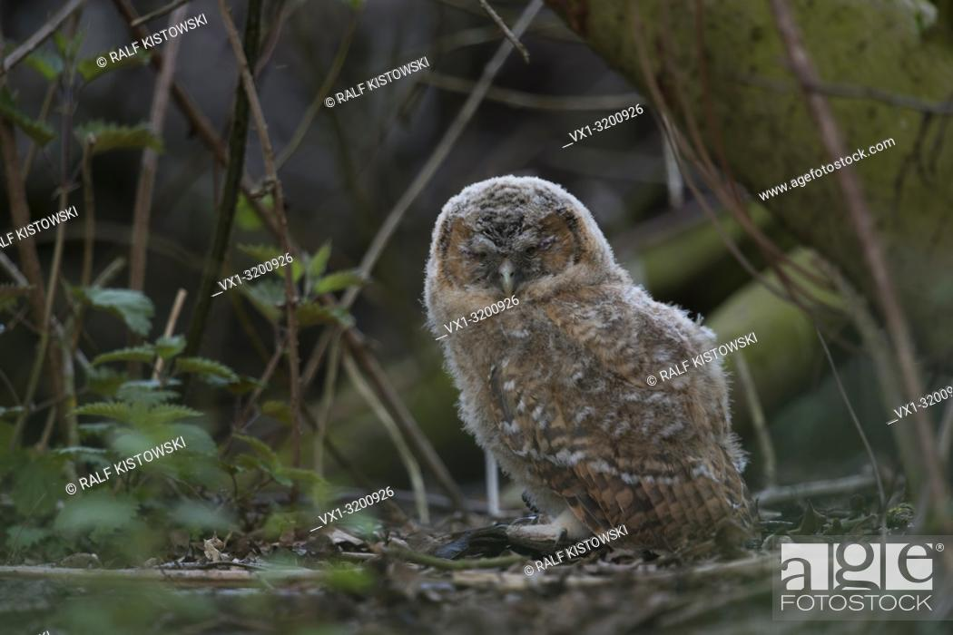 Stock Photo: Tawny Owl (Strix aluco), very young fledgling, hiding in the undergrowth of a forest, sleeping, closed eyes, threatened by raptors, wildlife.