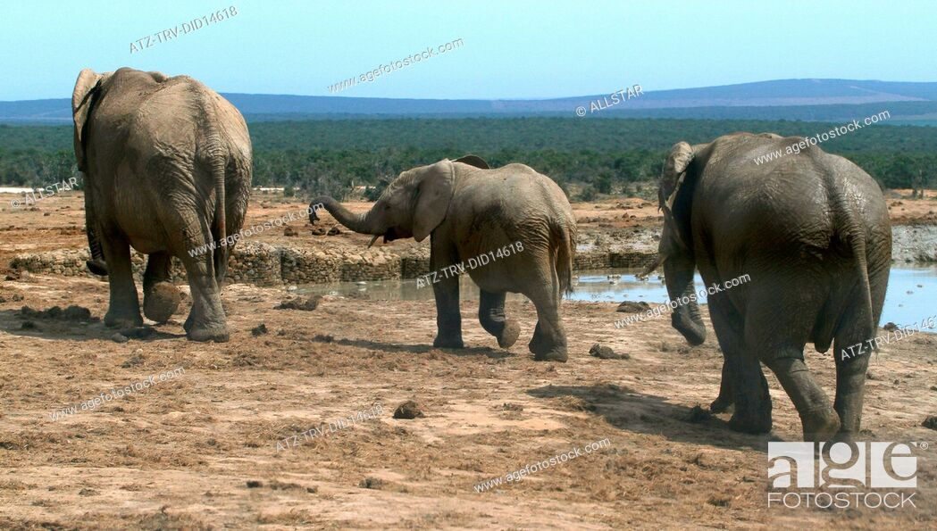 Stock Photo: GREY AFRICAN ELEPHANTS; ADDO NATIONAL PARK, SOUTH AFRICA; 03/02/2011.
