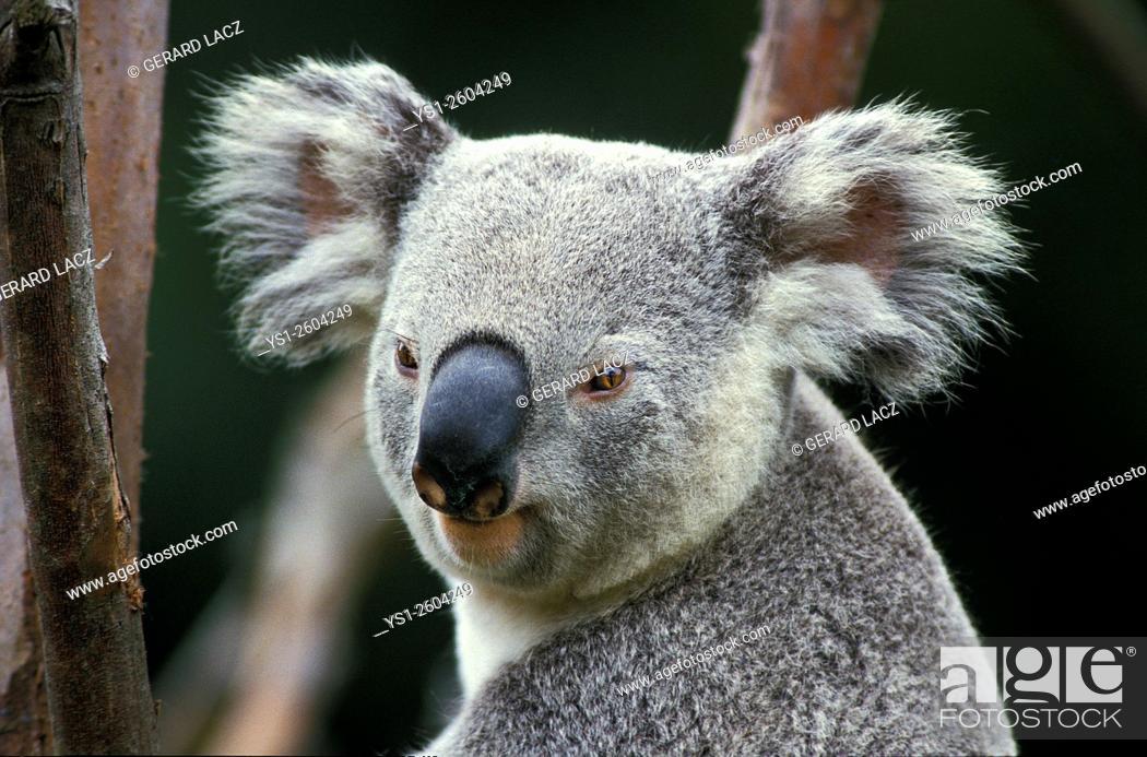 Stock Photo: Koala, phascolarctos cinereus, Portrait of Adult, Australia.