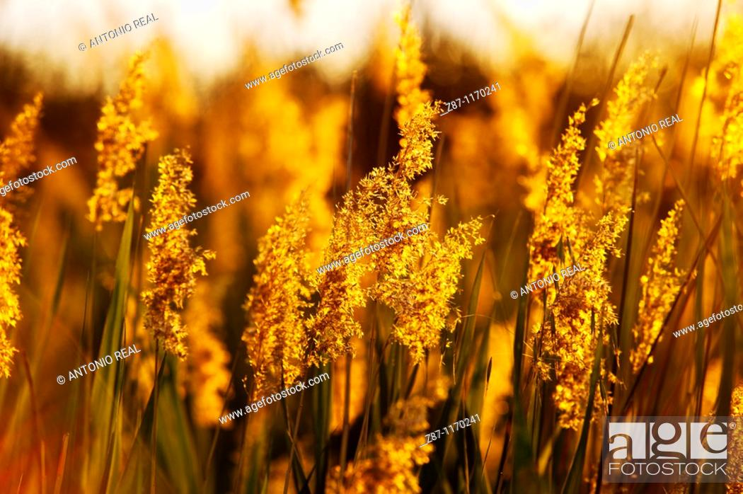 Stock Photo: Common Reed (Phragmites australis), Lagunas de Ruidera Natural Park, Ossa de Montiel, Albacete province, Castilla-La Mancha, Spain.