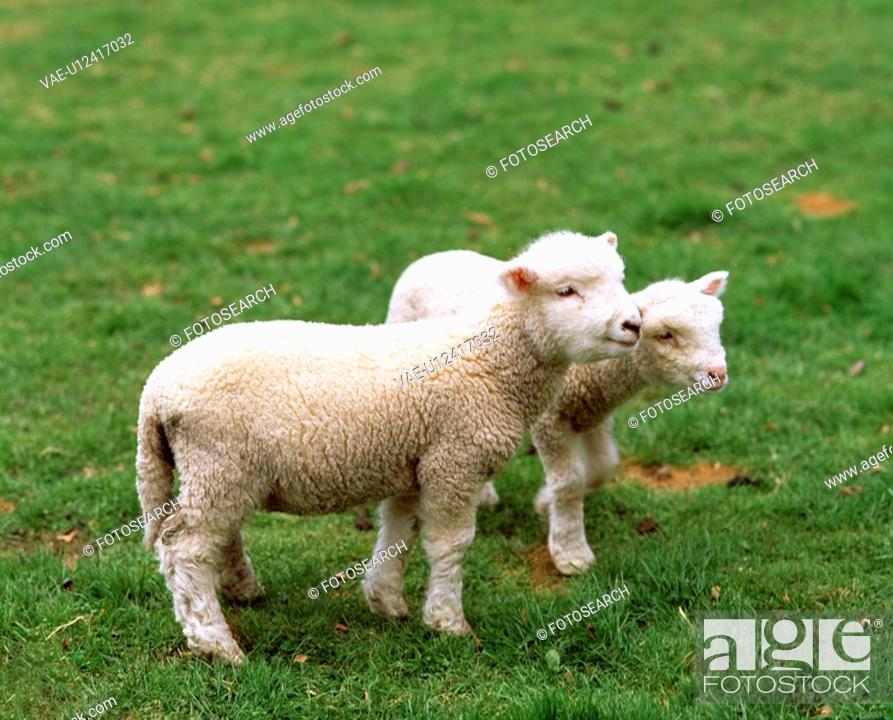 Stock Photo: Lamb.
