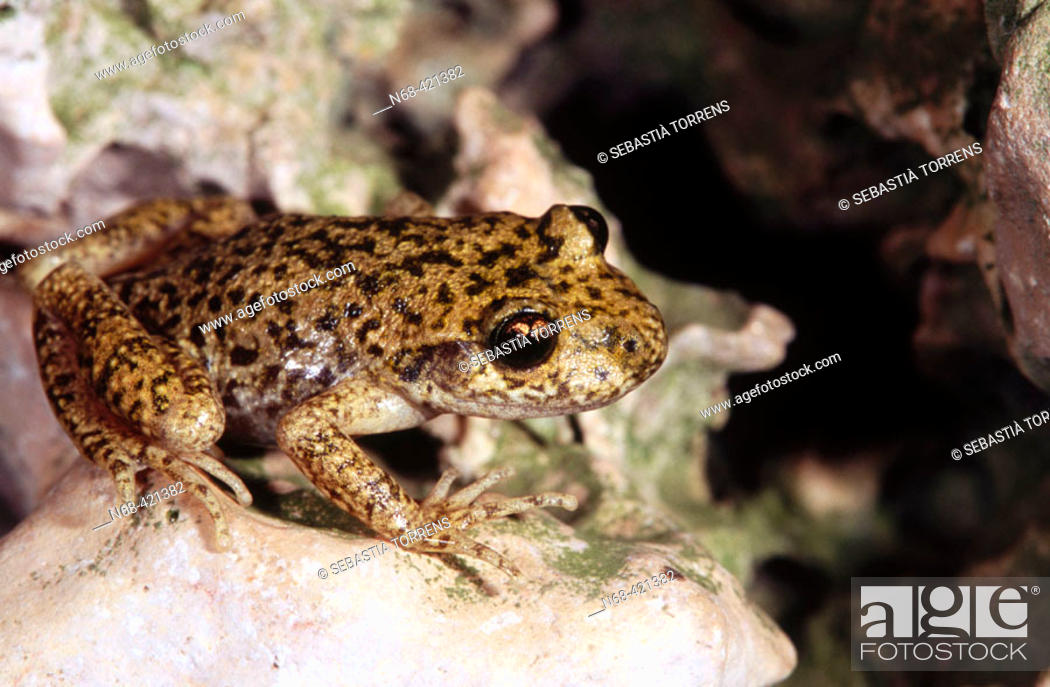 Stock Photo: Ferreret or Mallorca midwife toad (Alytes muletensis), endemic to Balearic Islands, Spain.