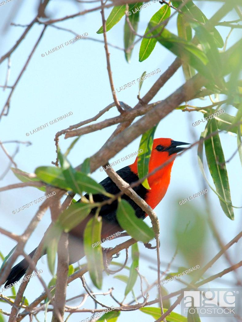 Stock Photo: Animal, Bird, Pantanal, Mato Grosso do Sul, Brazil.