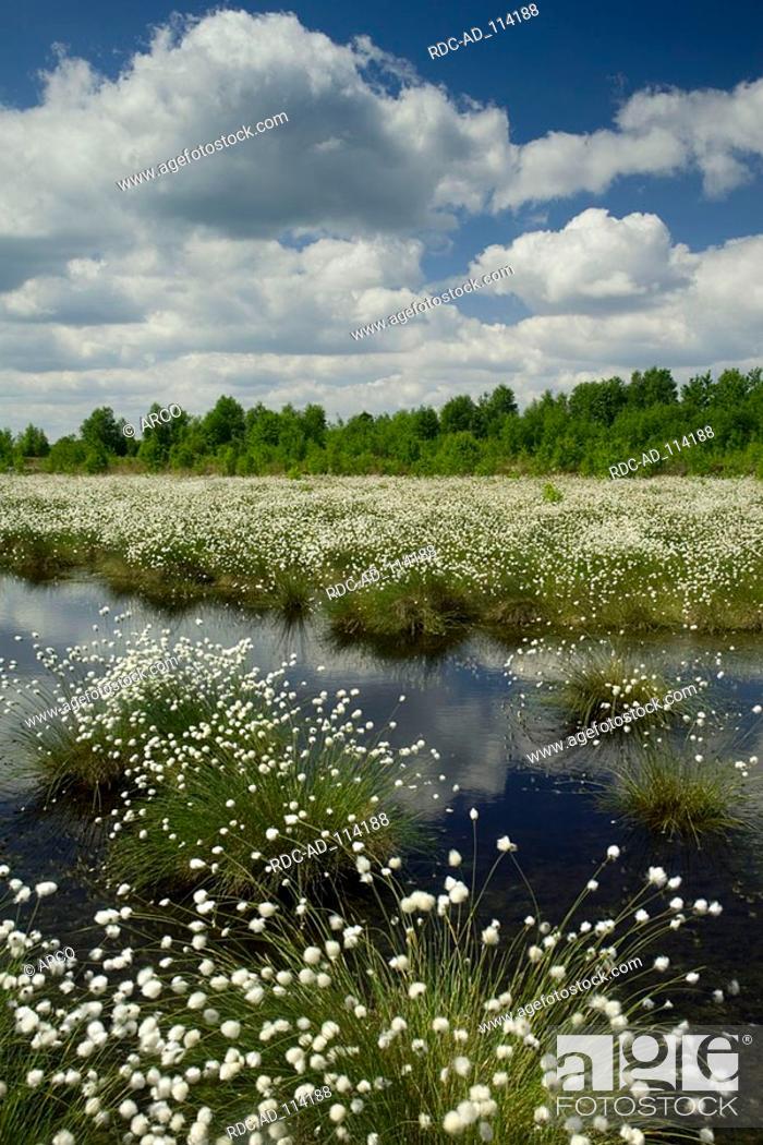 Stock Photo: Cottongrass Diepholzer Moorniederung Goldenstedter Moor Lower Saxony Germany Eriophorum spec.