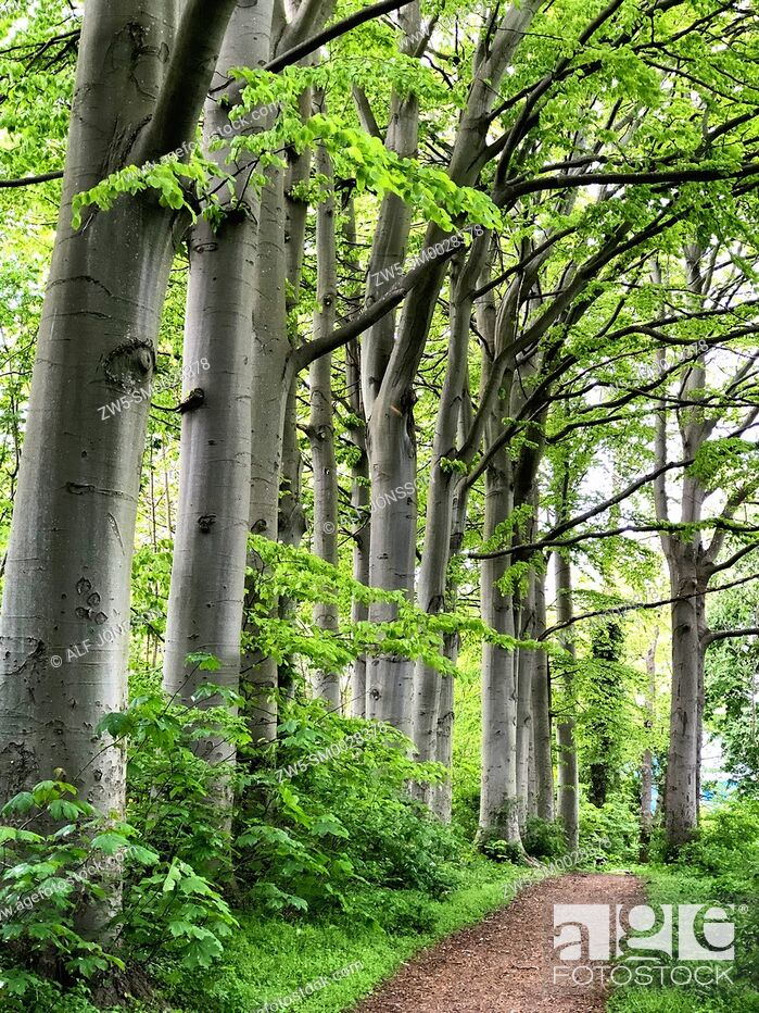 Stock Photo: Beech trees (Fagus sylvatica) at a path in Ystad, Scania, Sweden, Scandinavia.