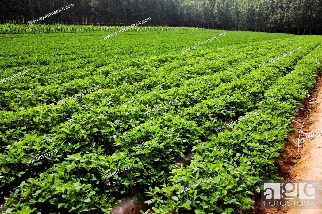 Stock Photo: Potato crop in a field, Zhigou, Shandong Province, China.
