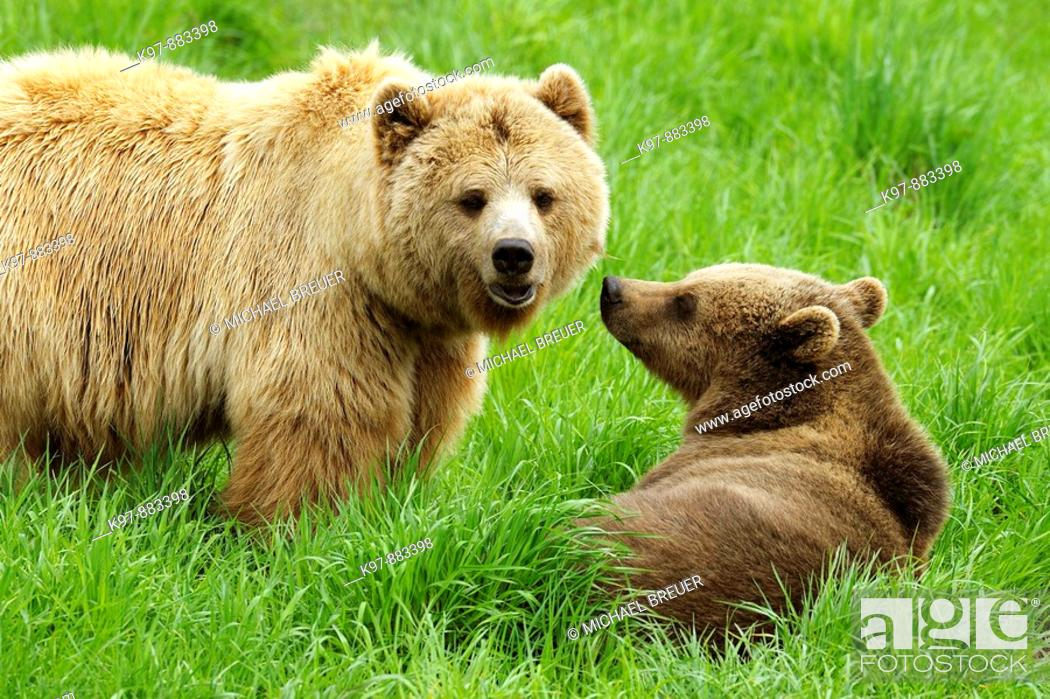 Stock Photo: European brown bears, Bavaria, Germany.