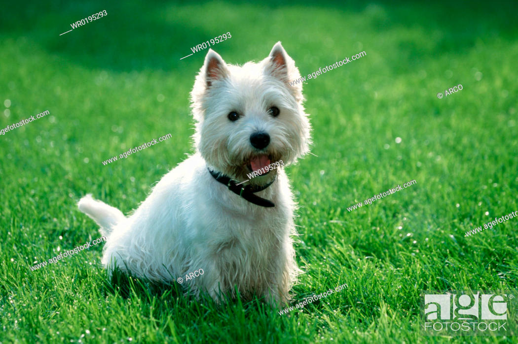 Stock Photo: West, Highland, White, Terrier, Westie.