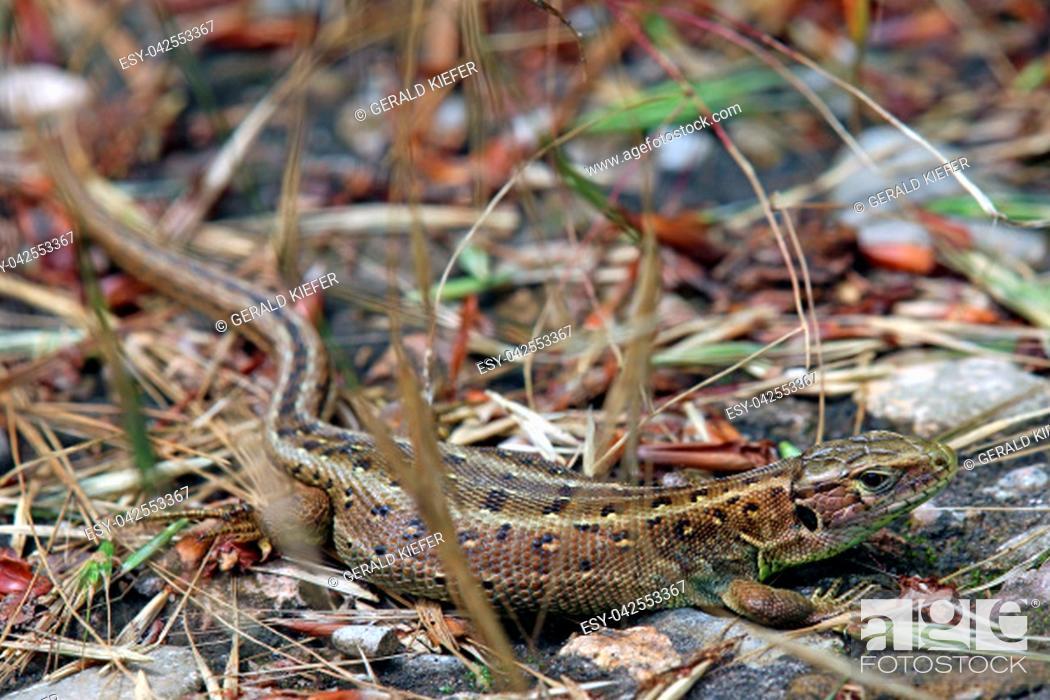 Stock Photo: female fence lizard lacerta agilis.