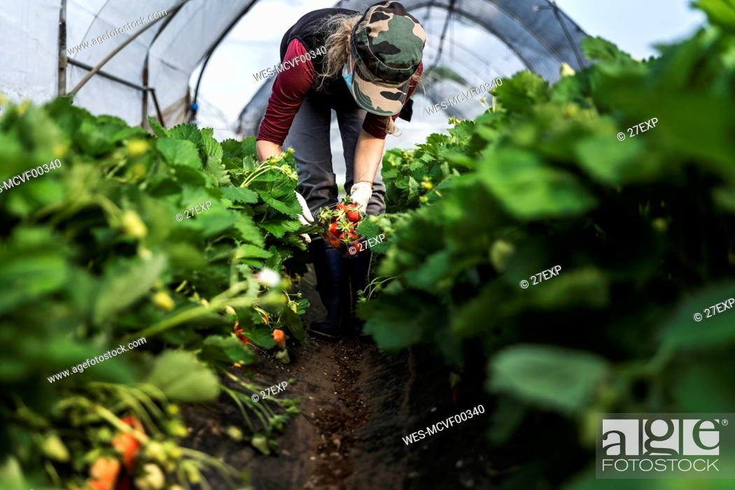 Imagen: Mature woman harvesting fresh organic strawberries at greenhouse.